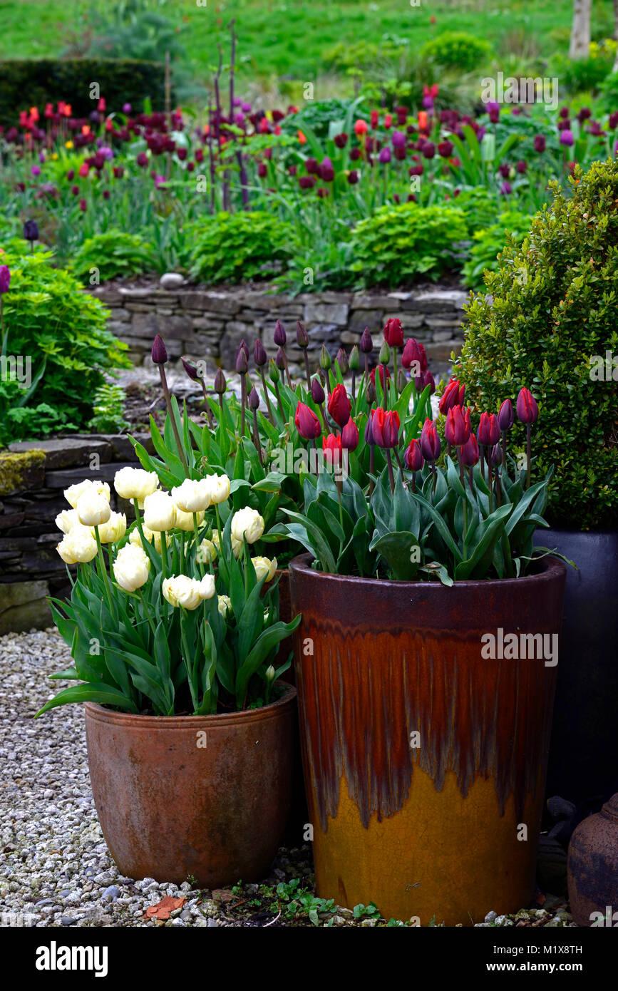 June Blakes Garden,Wicklow,Tulip display,tulips,tulipa,tulip flowers,pot,pots,container,container,displays,garden,gardening,gardens,spring,RM - Stock Image