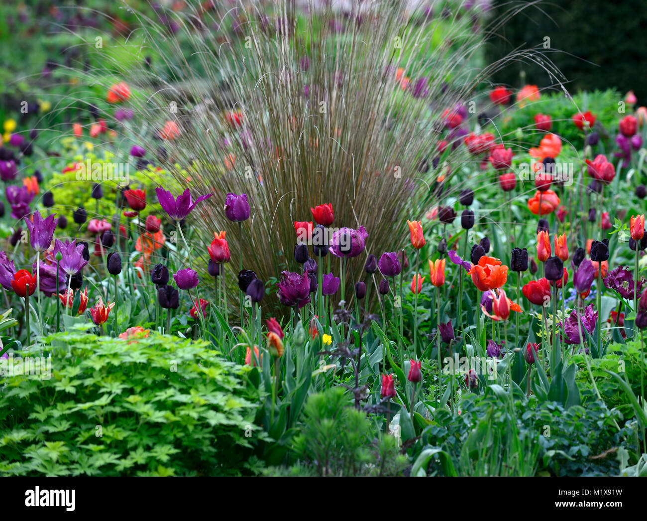 Tulip display,tulips,tulipa,tulip flower power,tulip lasting love,tulip Paul scherer,tulip black parrot,tulip blue - Stock Image
