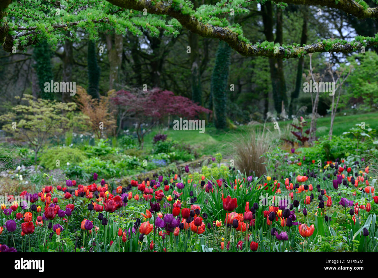 June Blakes Garden,Wicklow,Tulip display,tulips,tulipa,tulip flower power,tulip lasting love,tulip Paul scherer,tulip - Stock Image