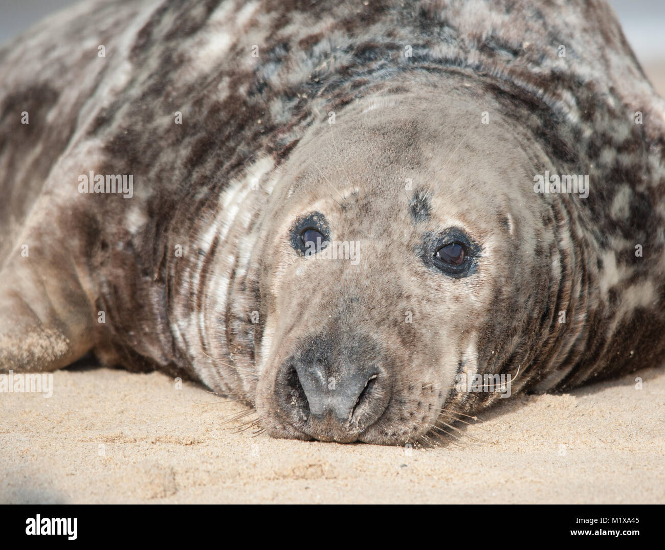 Grey seals (Halichoerus grypus) take time out to relax and chill on the beach - Stock Image