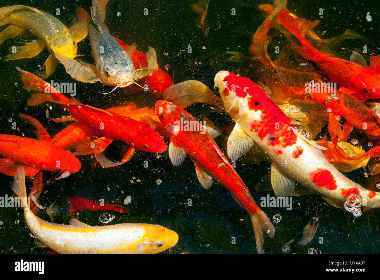 Colorful Freshwater Fish Stock Photos & Colorful Freshwater Fish ...