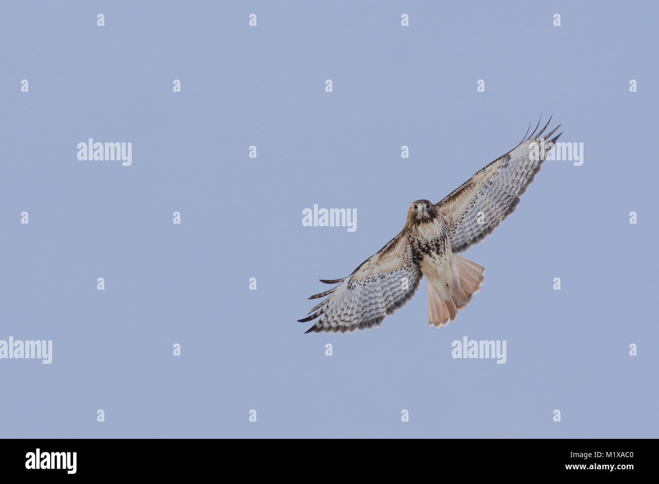 Abieticola subspecies of Red-tailed Hawk in flight. - Stock Image