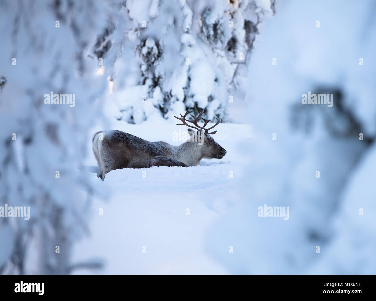 Reindeer male with a younger one digging in the snow for food Stock Photo