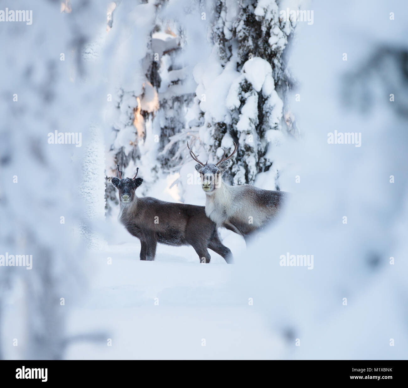 Reindeers in an arctic snowy forest Stock Photo