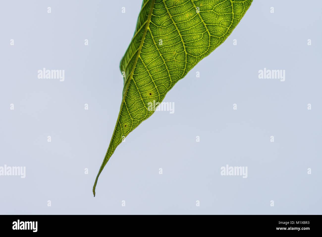 Leaf Makro - Stock Image