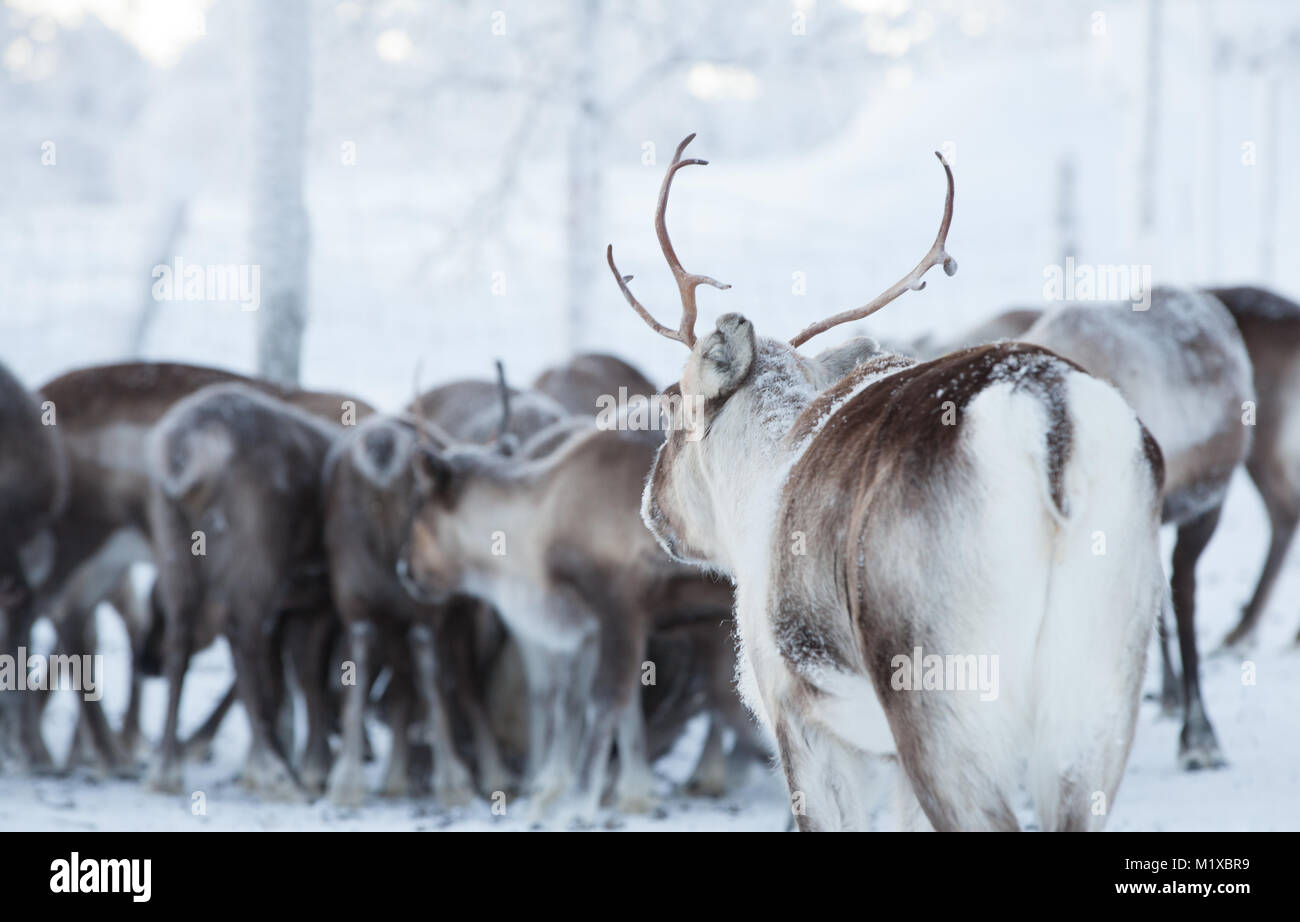 Reindeer joins the group - Stock Image