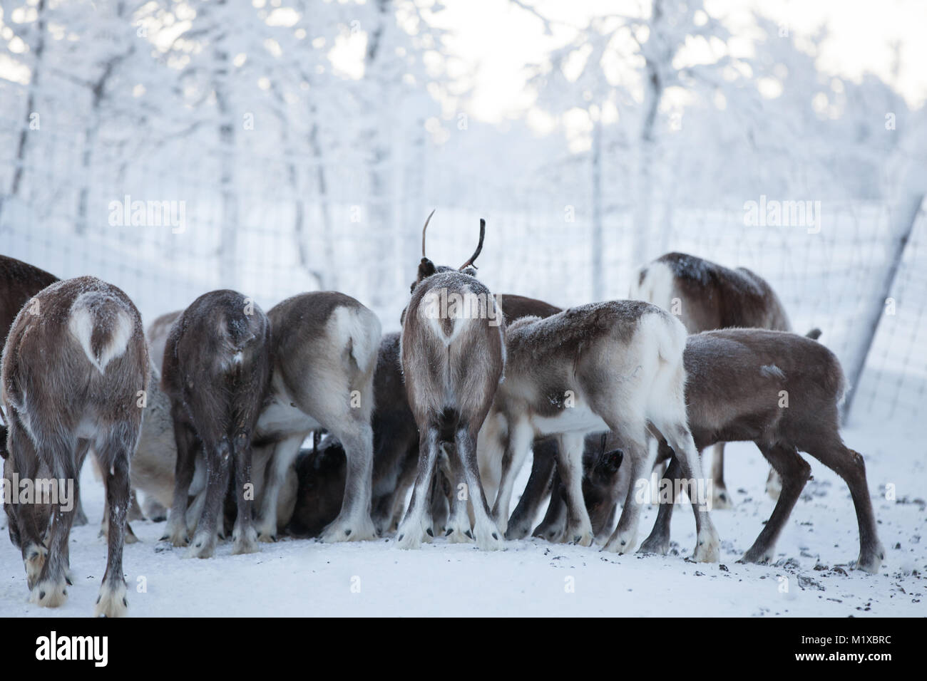 Feeding a reindeer flock during winter in Swedish Lapland - Stock Image