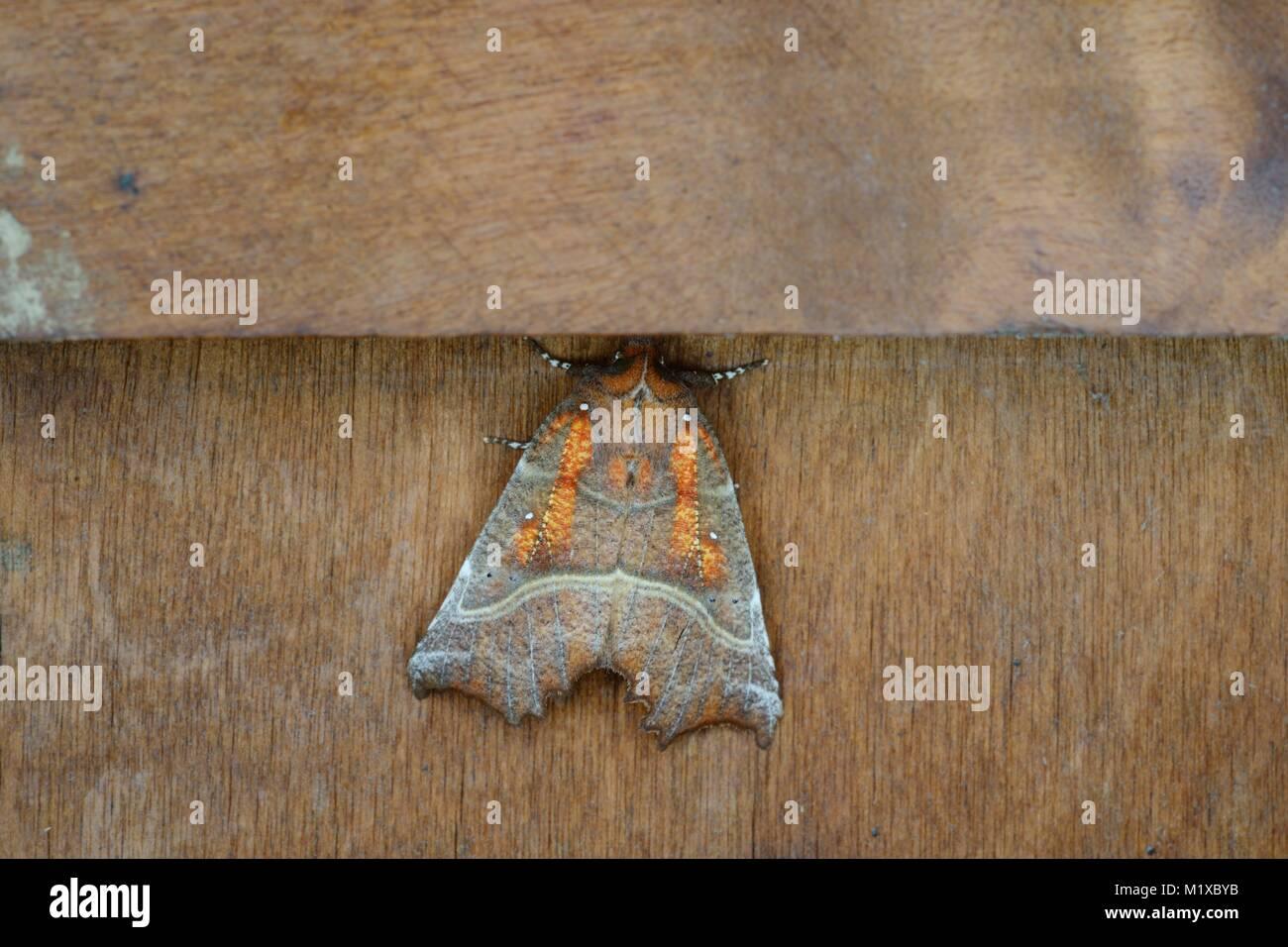 Scoliopteryx libatrix, Herald Moth hibernating indoors in Winter, Wales, UK - Stock Image