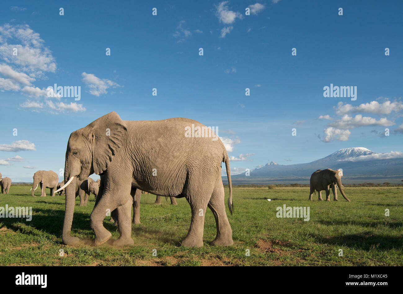 Herd of African Elephants grazing on the savannah with Kilimanjaro in the background. Amboseli. Kenya. - Stock Image