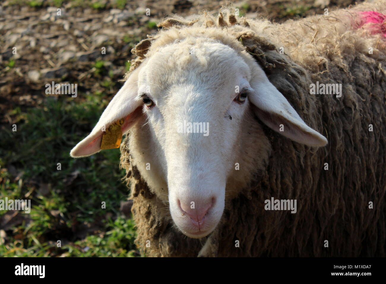 Sheep Ears High Resolution Stock Photography And Images Alamy