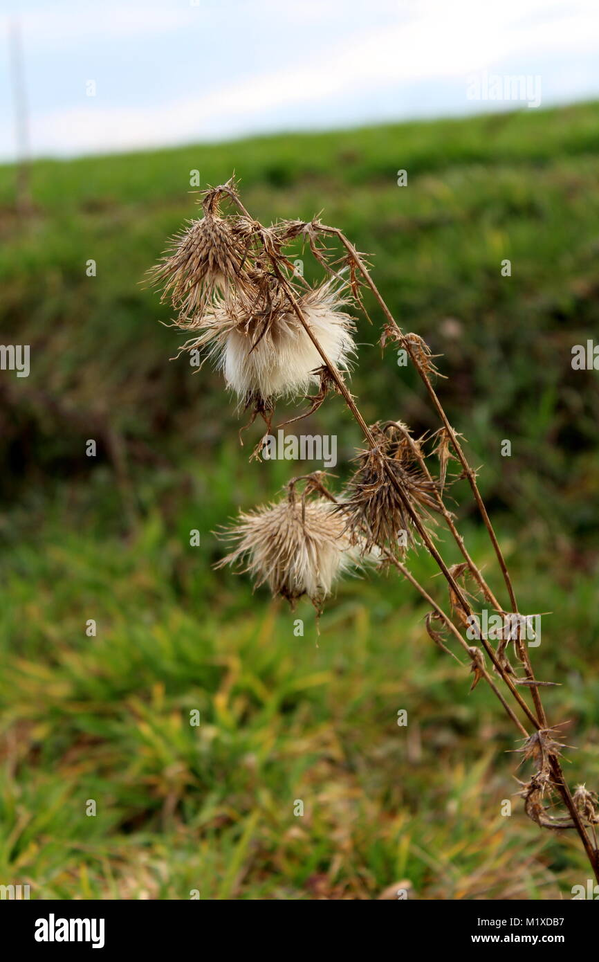 Dried bur weed plant on blurred green grass and blue cloudy sky background on cold winter day - Stock Image