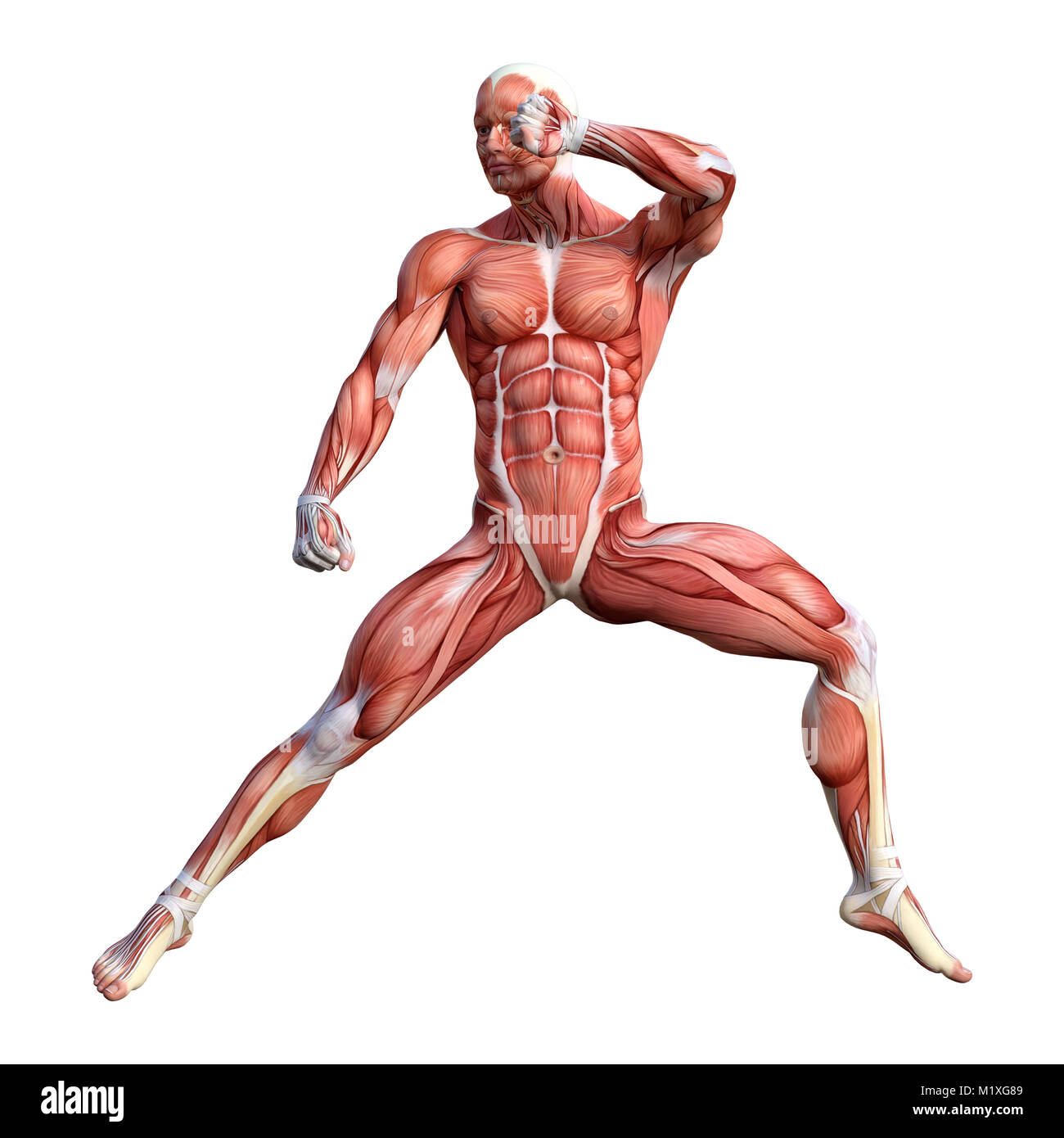 3D rendering of a male anatomy figure with muscles map exercising ...