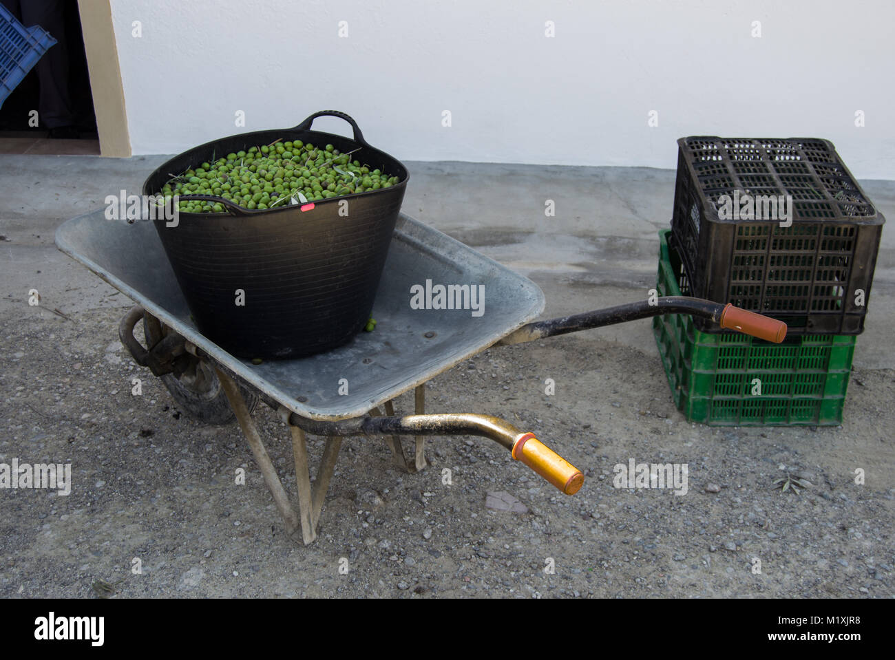 A bucket full of olives on a handcart in a farm field in Andalusia. Harvest of the olive trees. - Stock Image