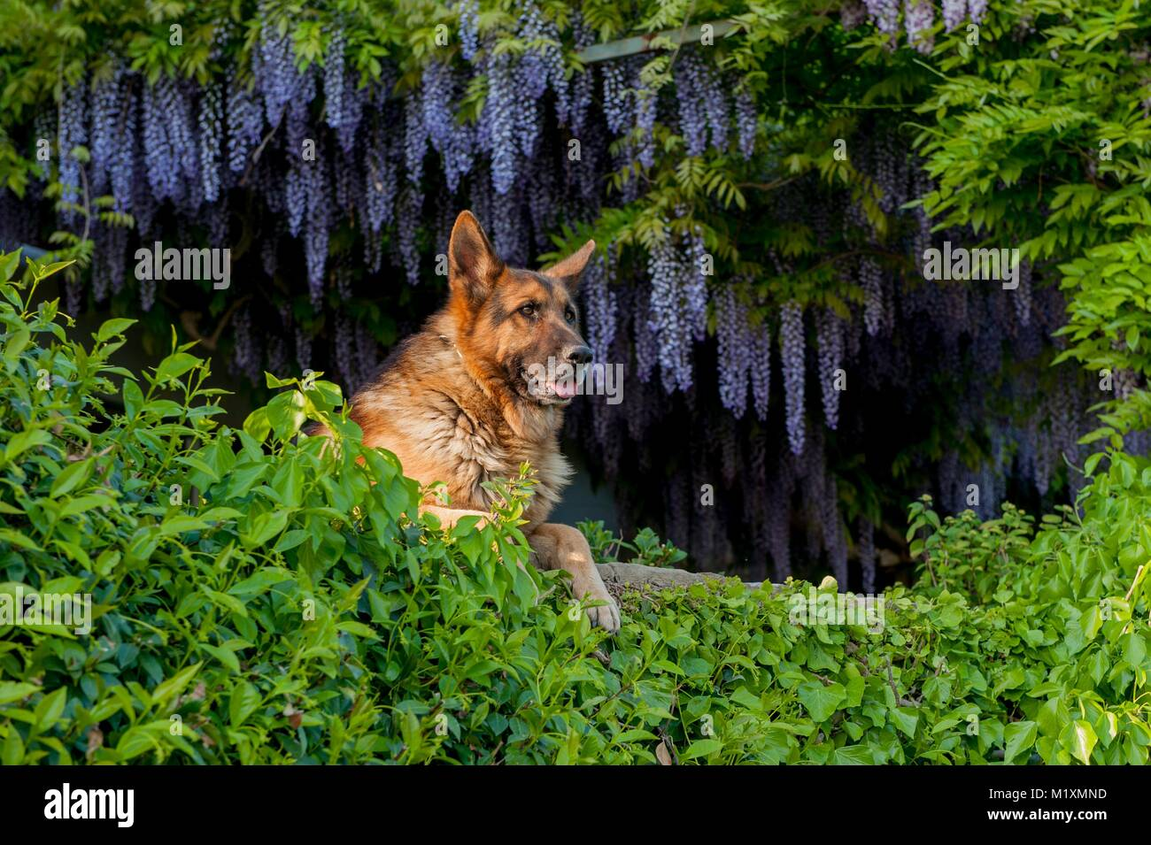 Wolf who watches - Stock Image