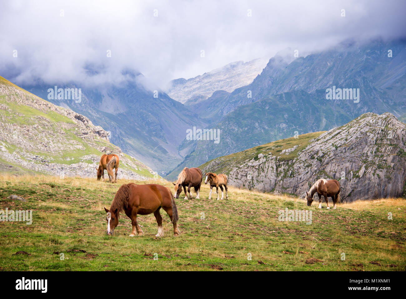 Herd of horses grazing near Pourtalet pass, Ossau valley in the Pyrenees, France Stock Photo