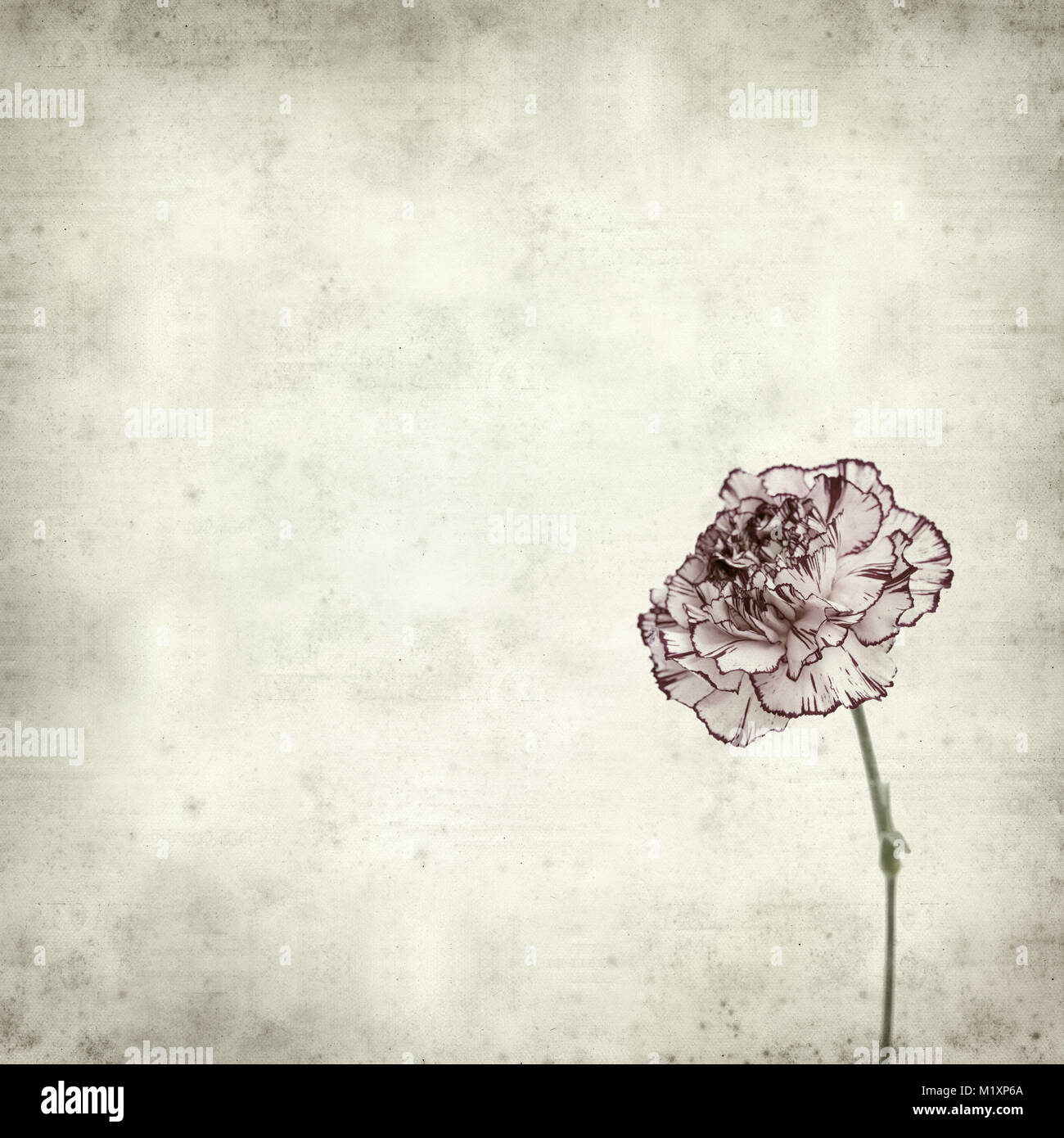 Textured Old Paper Background With Variegated Carnation Flower Stock