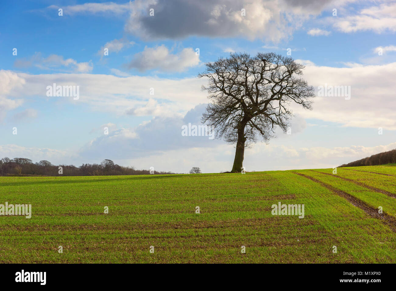 lone leafless tree on a hill in sunshine in Staffordshire England UK - Stock Image
