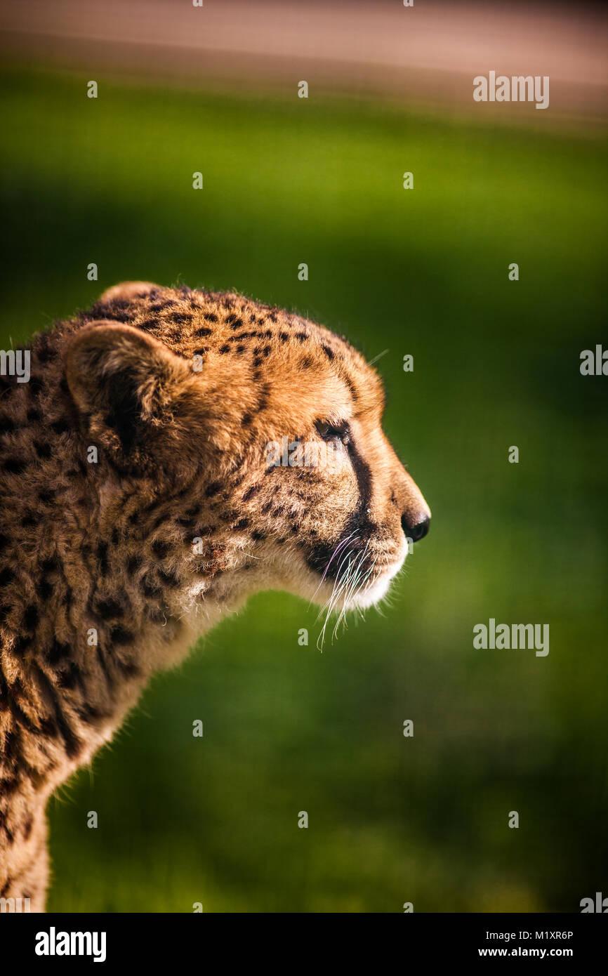 Portrait of wild Cheetah on Green Fields - Stock Image