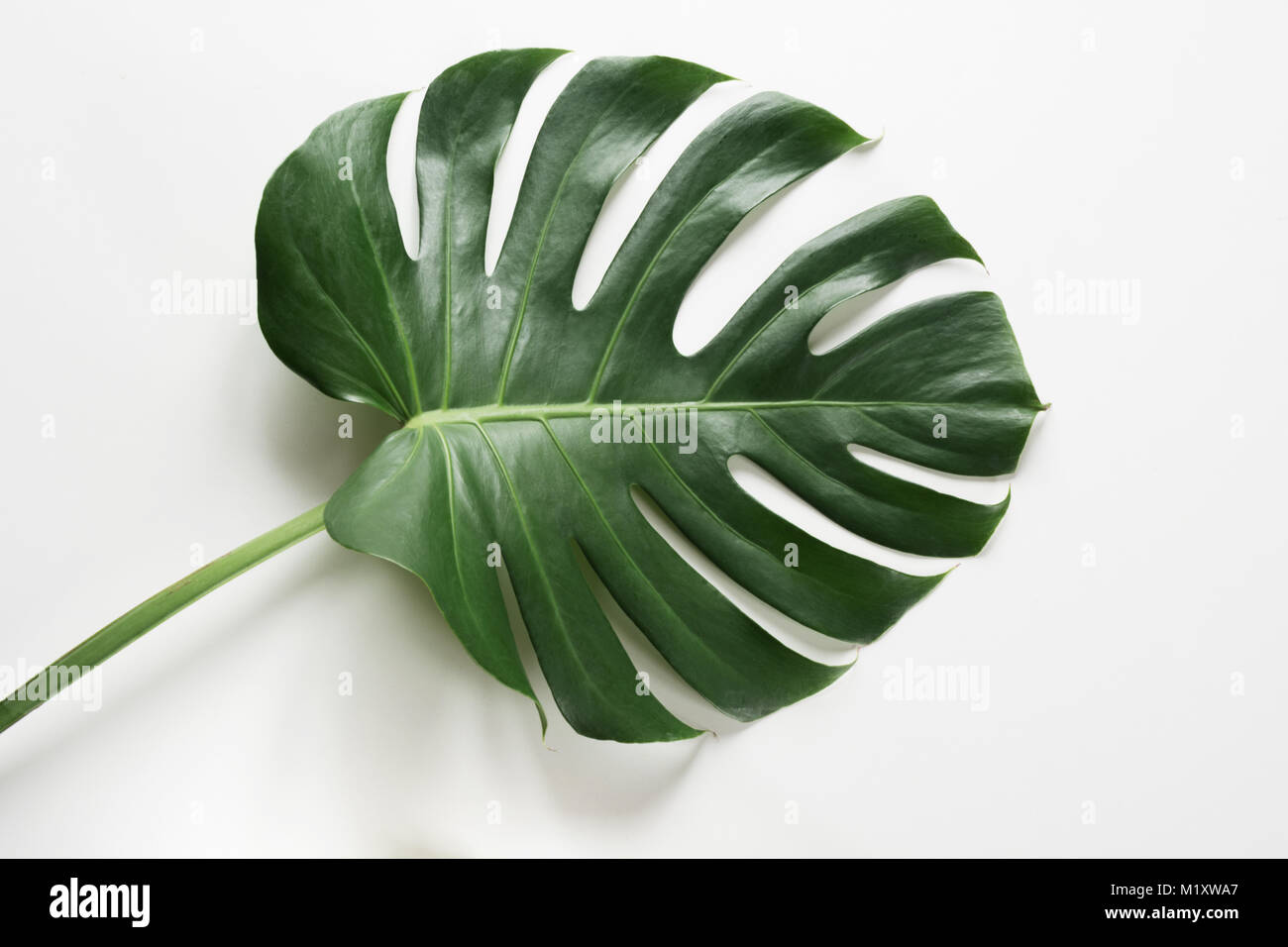 Single leaf of Monstera on white background. Close up, isolated with copy space. - Stock Image