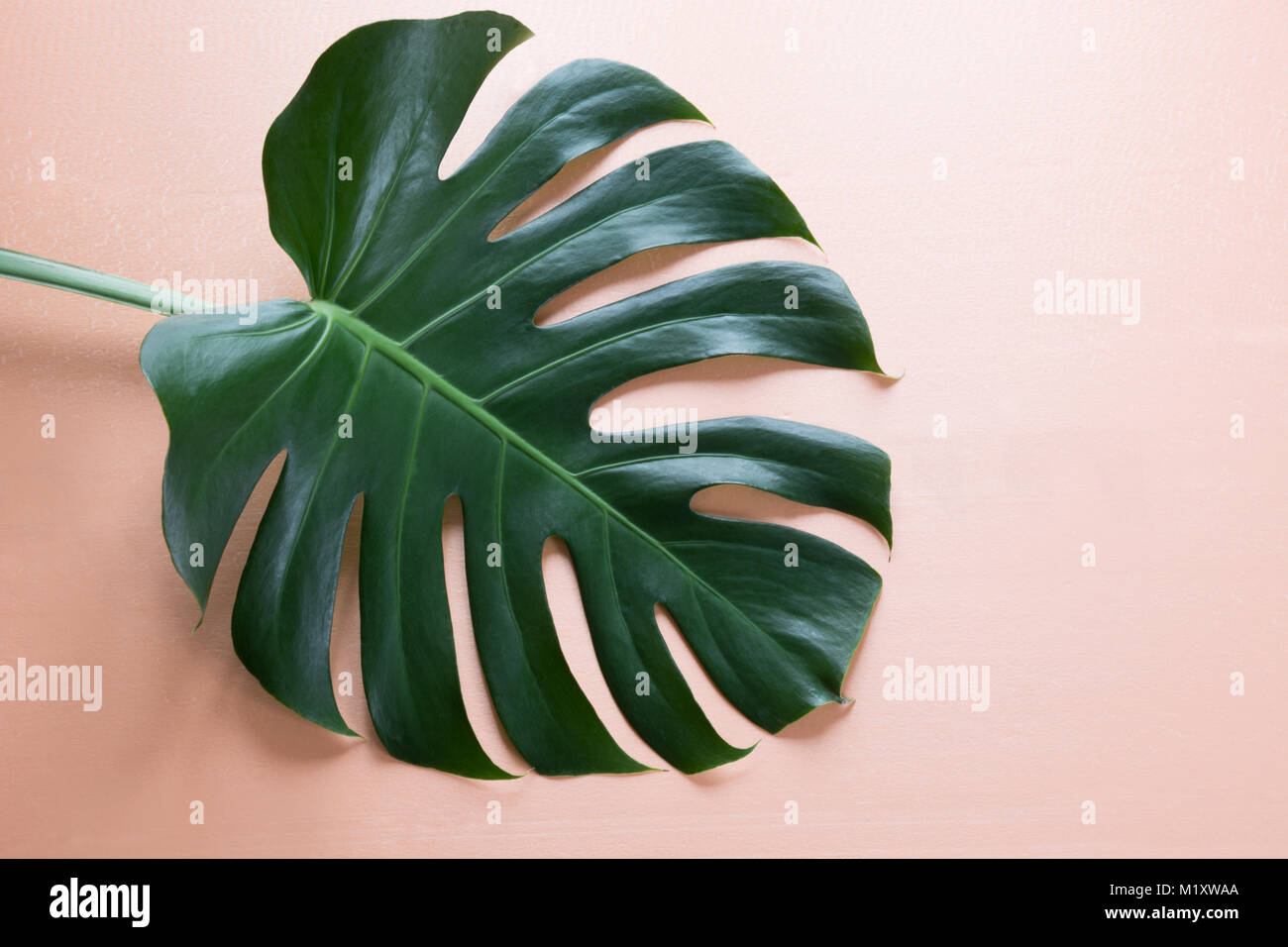 Single leaf of Monstera on pink background. Close up, isolated with copy space. - Stock Image