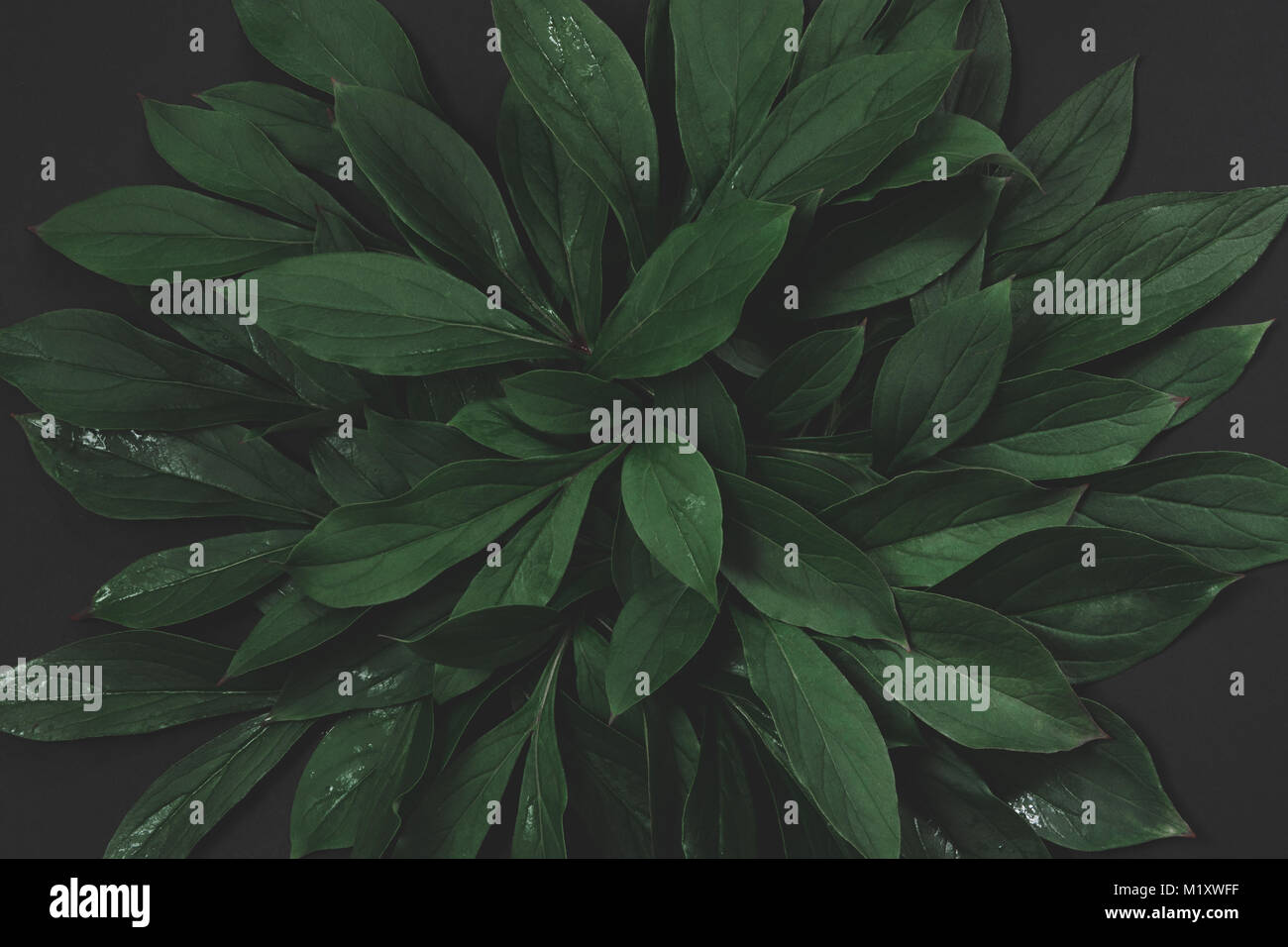 Creative layout made of green leaves on black background. Top view. Nature concept. Toned image. Stock Photo