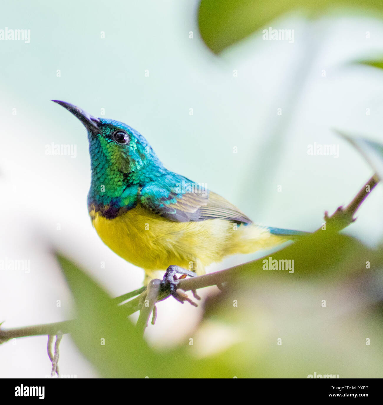 Stunning Eastern Collared Sunbird in Kenya emerging from the undergrowth. - Stock Image