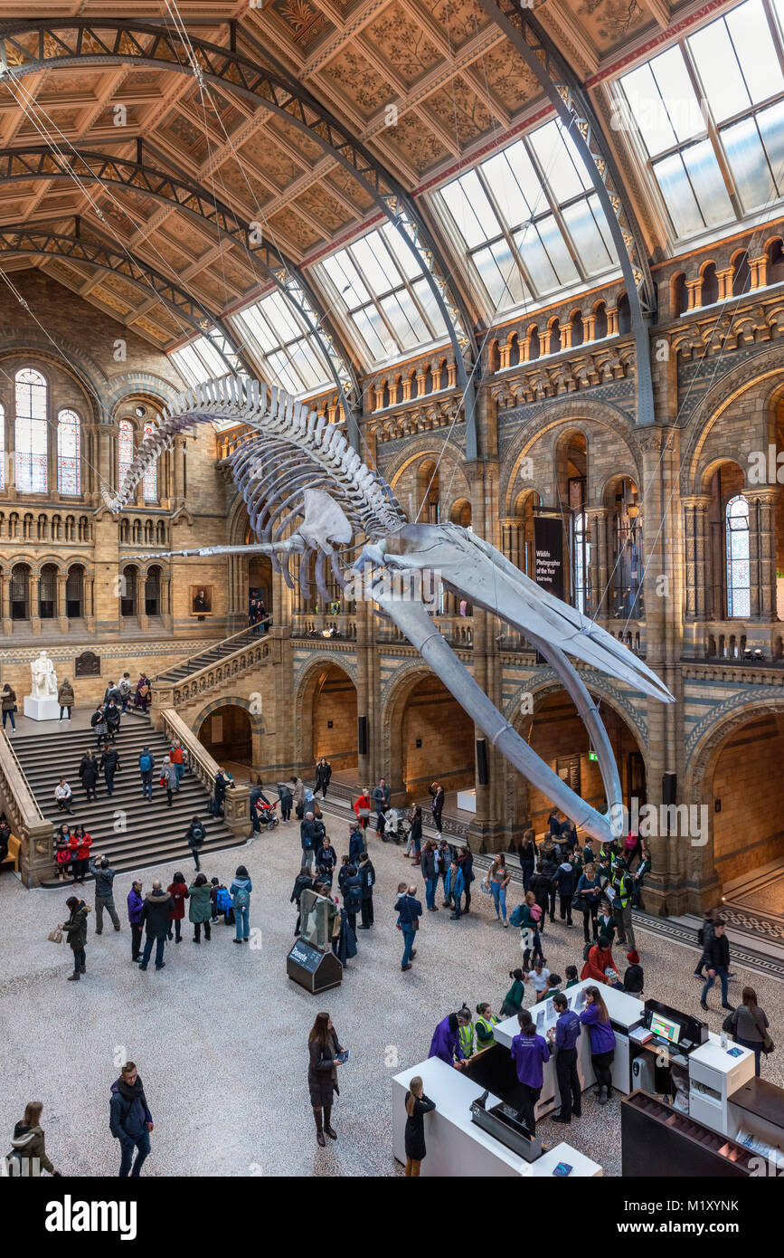 Blue whale skeleton in Hintze Hall, Natural History Museum, London, England, UK - Stock Image