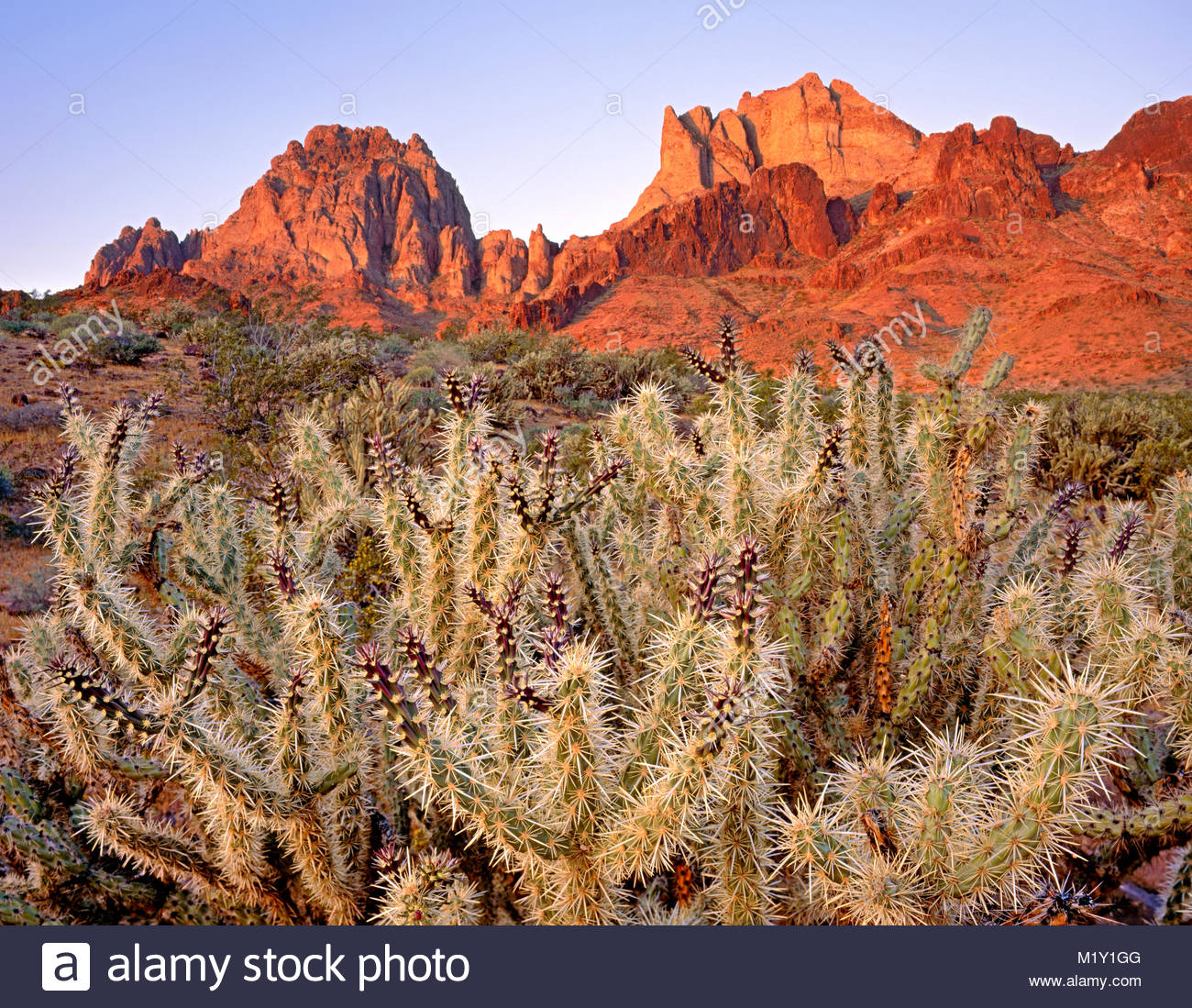Buckhorn Cholla and the Turtle Mountains at Dawn, Turtle Mountains Wilderness, California - Stock Image