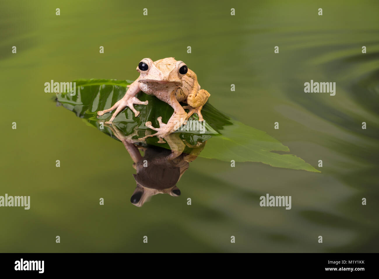 Borneo Eared Tree Frog sitting on a leaf in rippled water - Stock Image