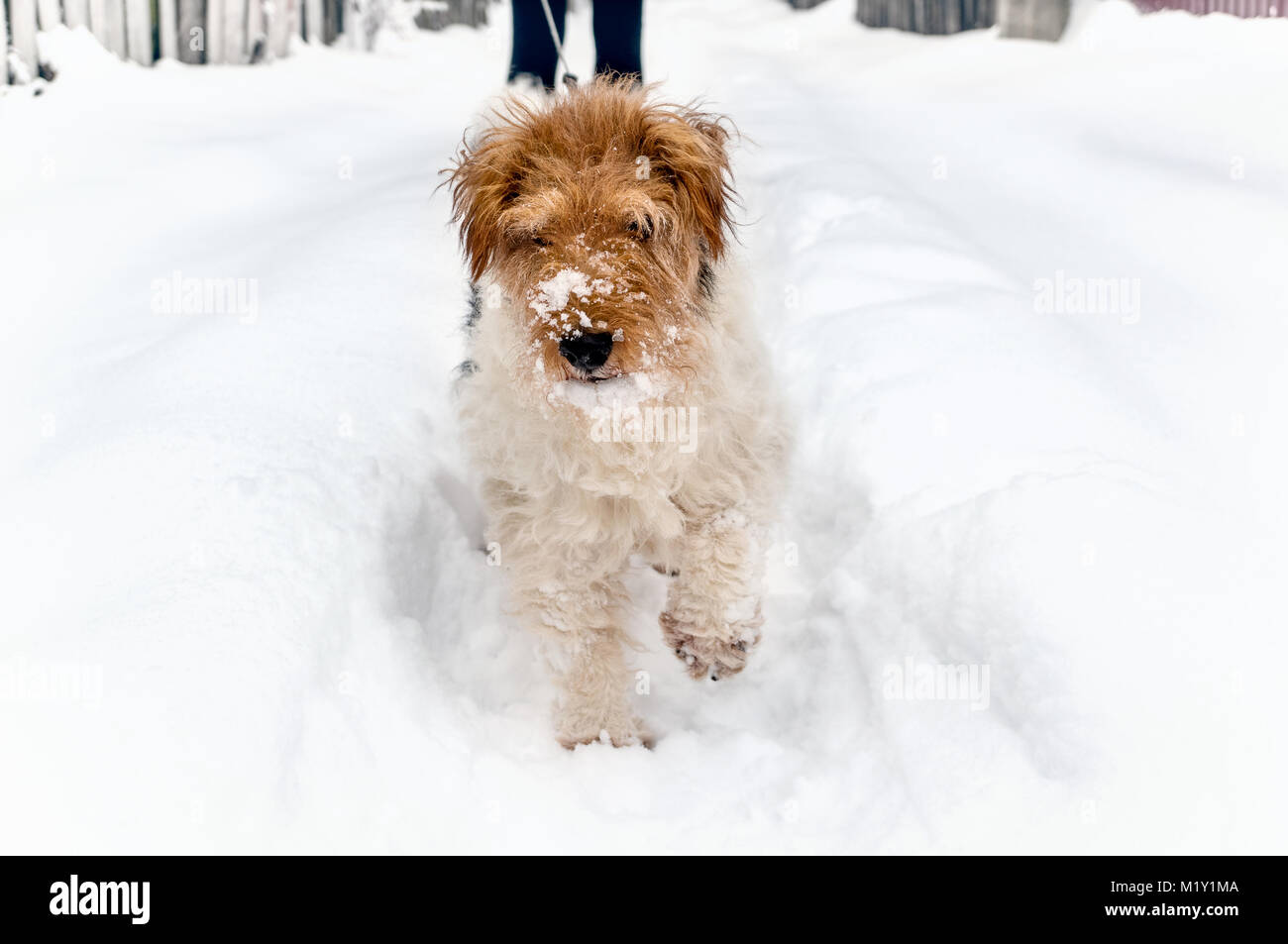 Sad dog sneaks in a snow drift in search of the road. Anomalous snowfall in the winter. - Stock Image