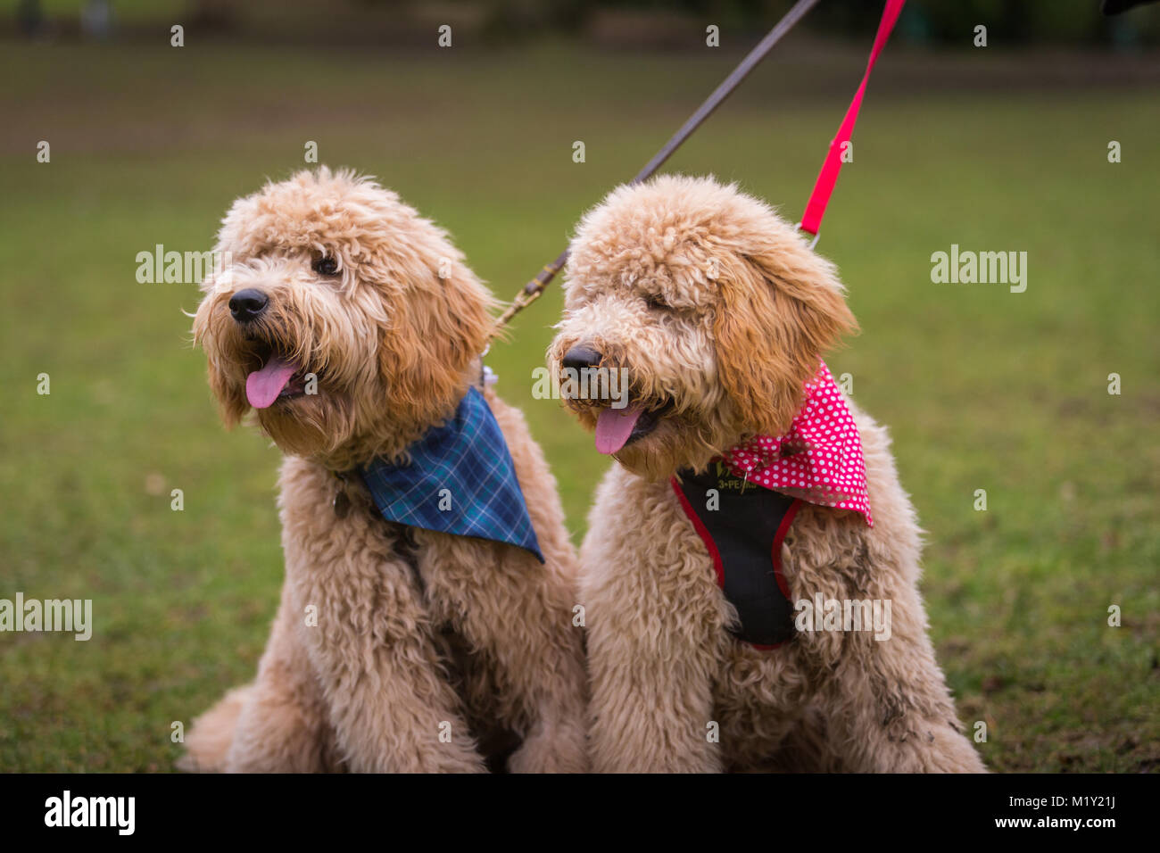 Two goldendoodles goldendoodle dogs, wearing bandanas, in a public park UK - Stock Image