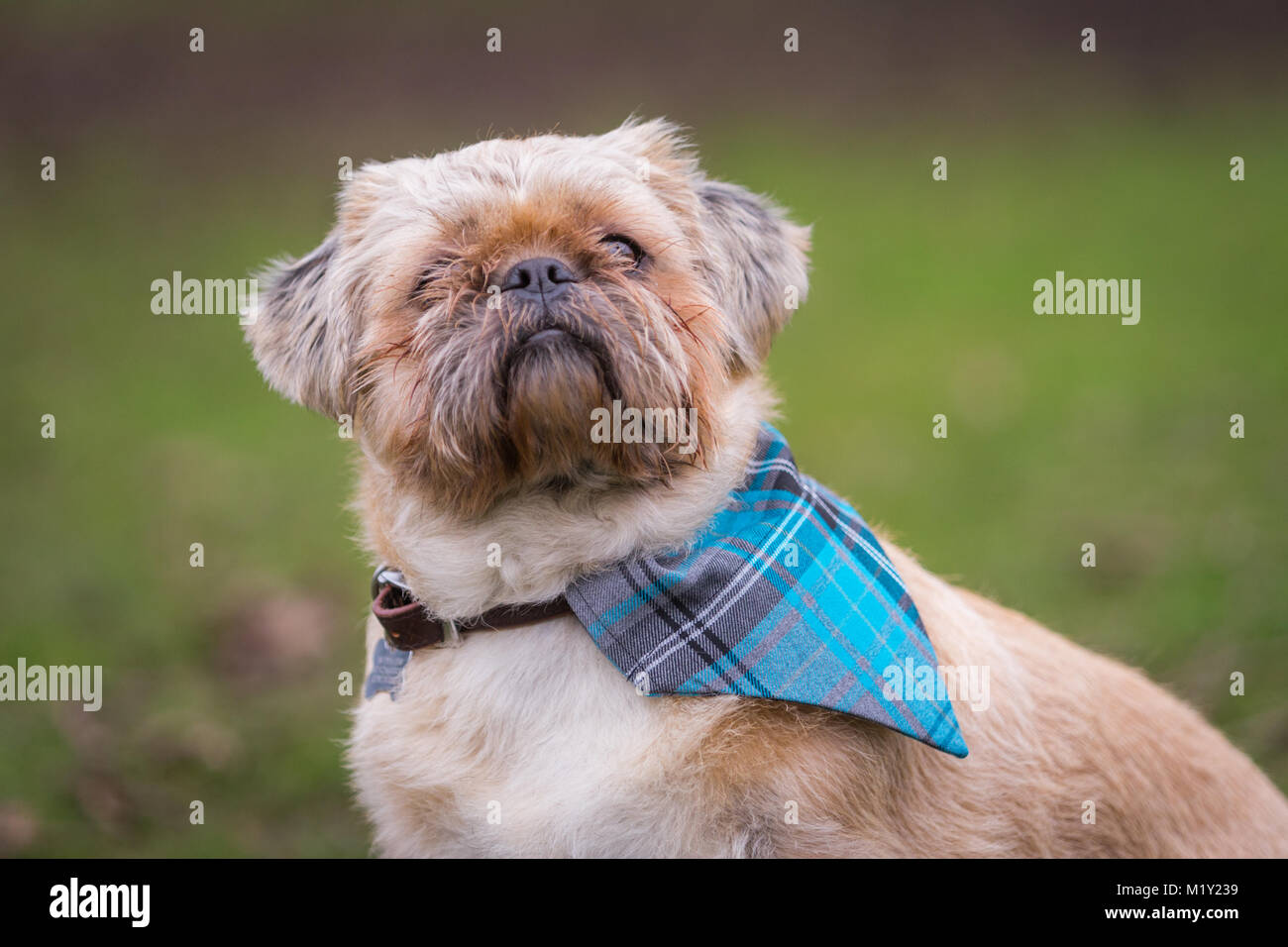 pug shih-tzu cross puppy outside in park - Stock Image
