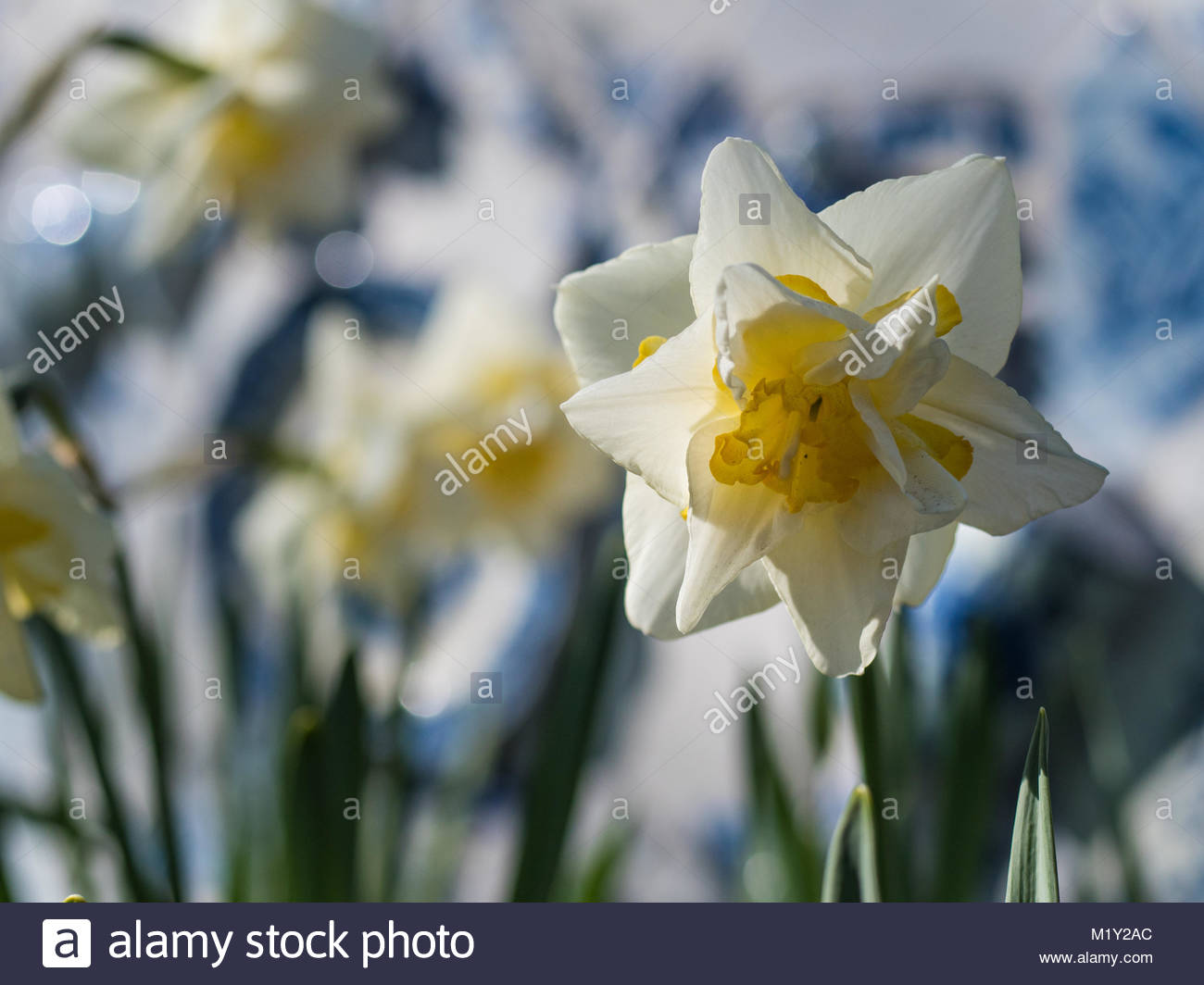 white single narcissus in flower field, relaxing, calming and peaceful colors, light blue and green contrasts - Stock Image