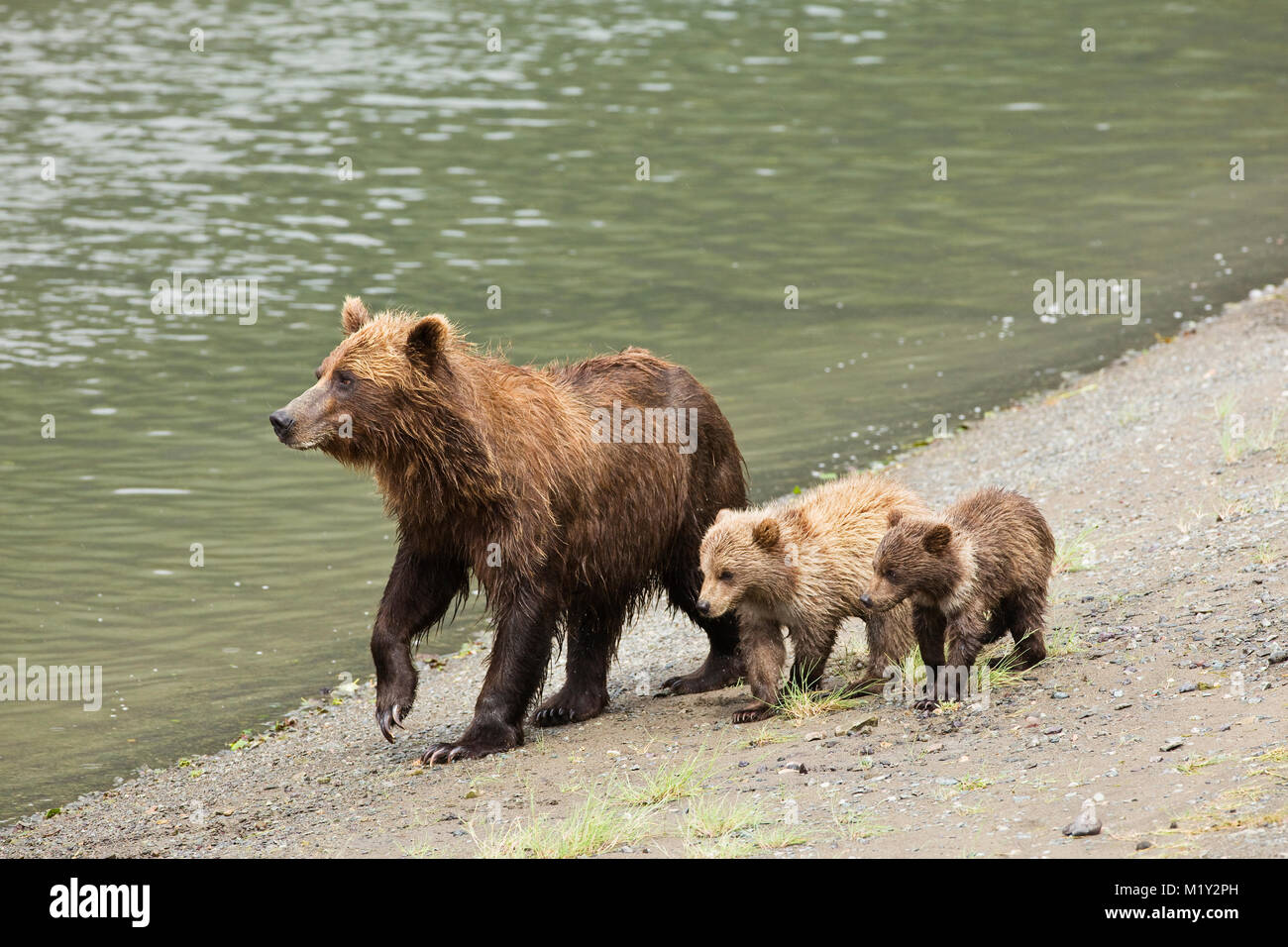 Sow brown bear and cubs near Horn Creek looking for spawning salmon on Glacier Spit in Chinitna Bay area of Lake - Stock Image