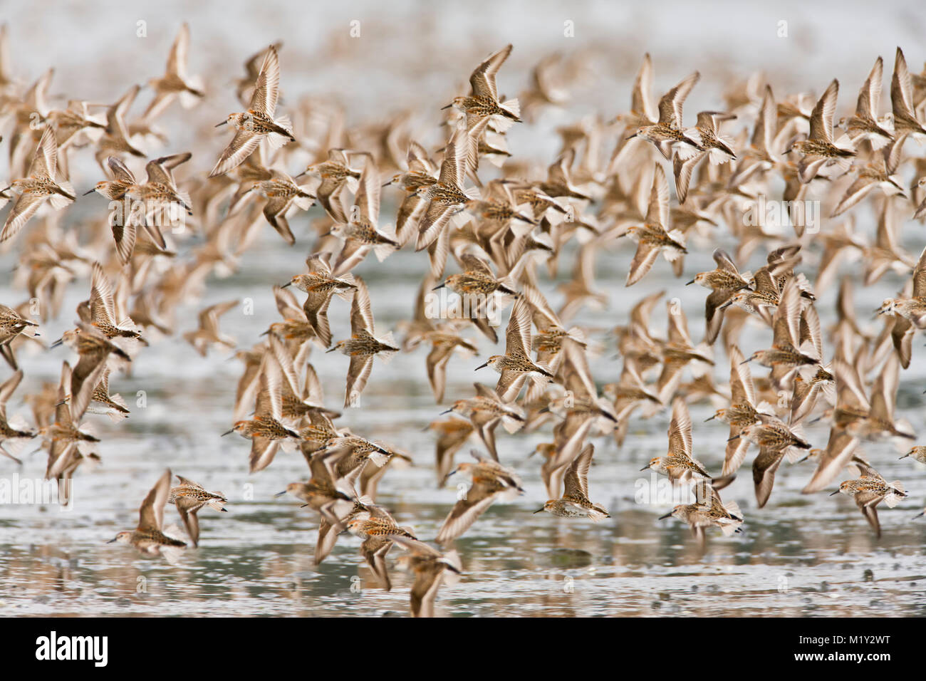 Western Sandpipers swarm the waters of Hartney Bay near Cordova in Alaska during the spring migration. - Stock Image