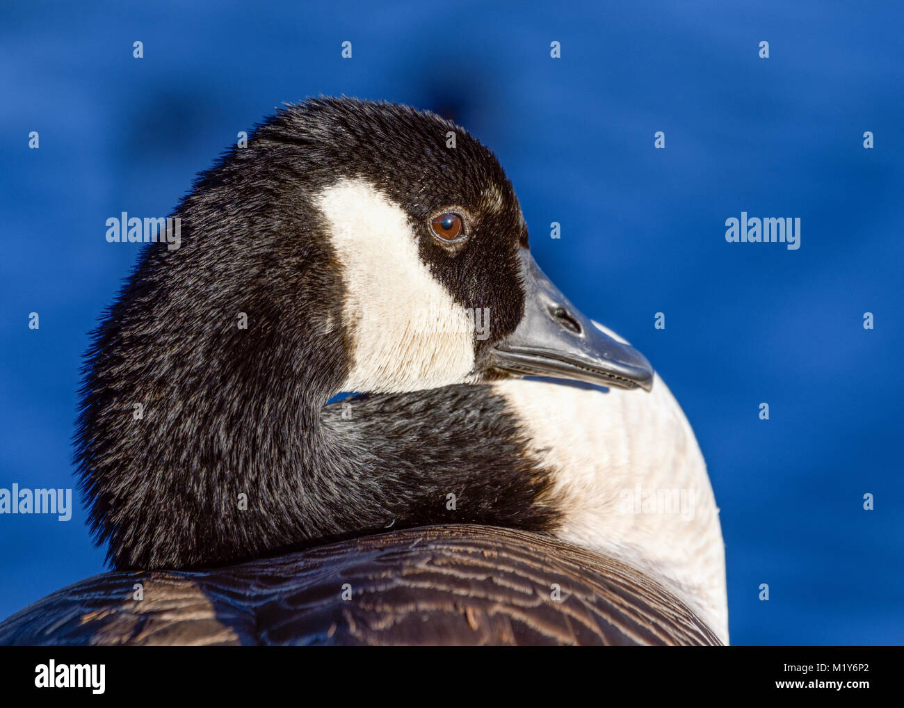 Canada Goose - Branta canadensis - close-up showing details of face, eyes, bill . High quality image with blue water - Stock Image