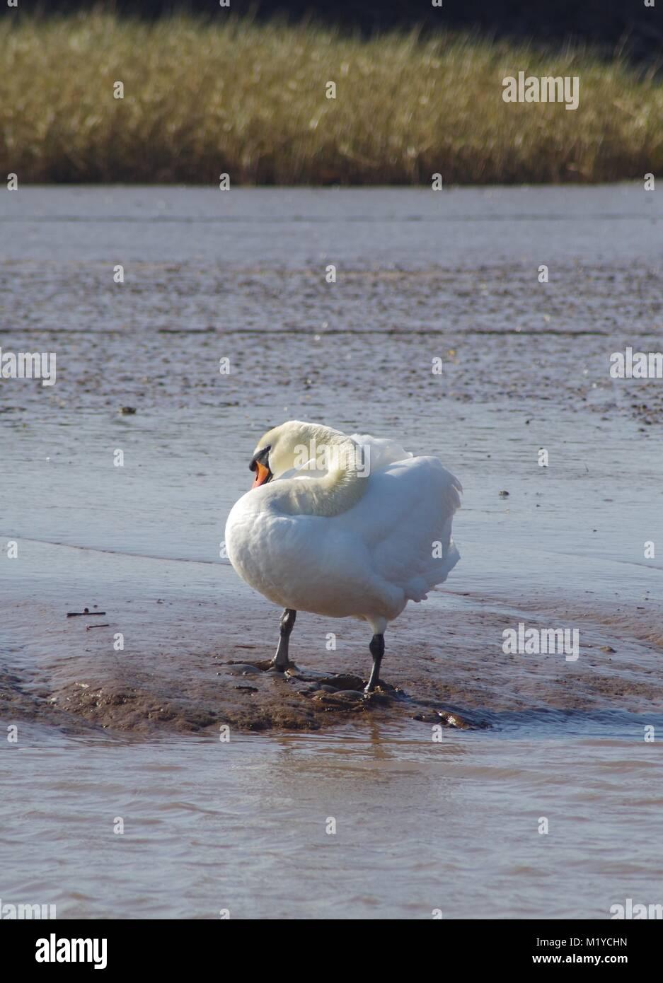 Elegant Mute Swan (Cygnus olor) Preening on the Mud Flat of the Exe Estuary by Turf Lock Hotel. South Devon, UK. - Stock Image