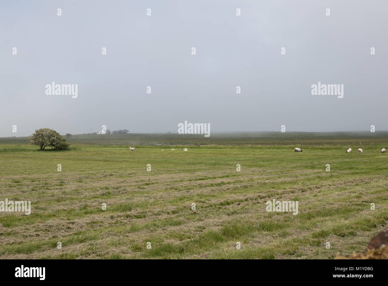 View across a green field with sheep of mist on the horizon - Stock Image
