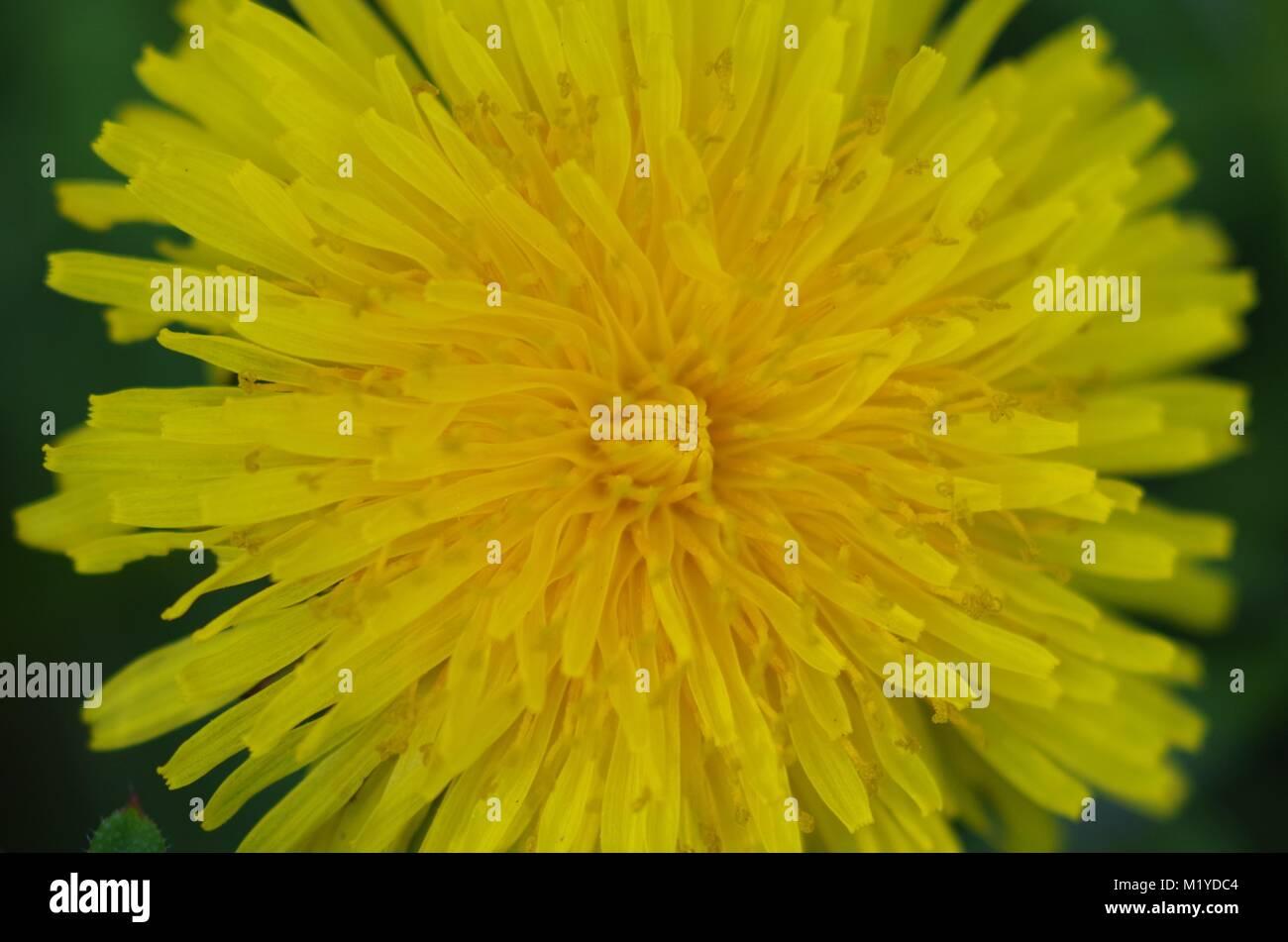 Common Dandelion Flower in Bloom. (Taraxacum officinale) Grow on a Devon Allotment. Summer, UK. - Stock Image