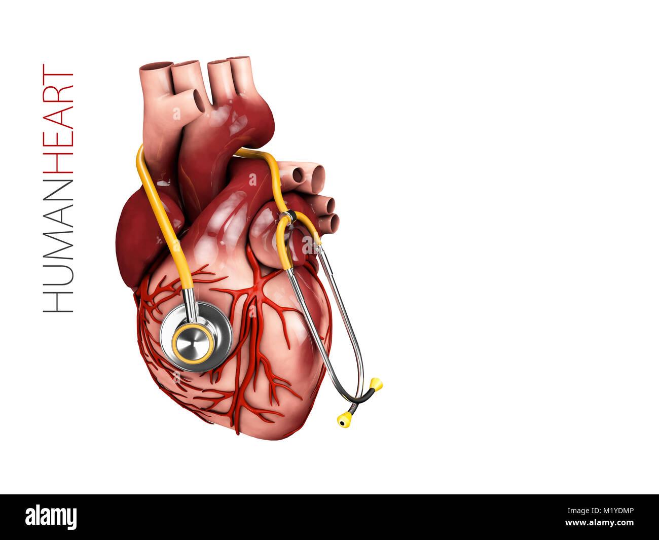 Human heart anatomy with stethoscope. Organs symbol. 3d illustration ...