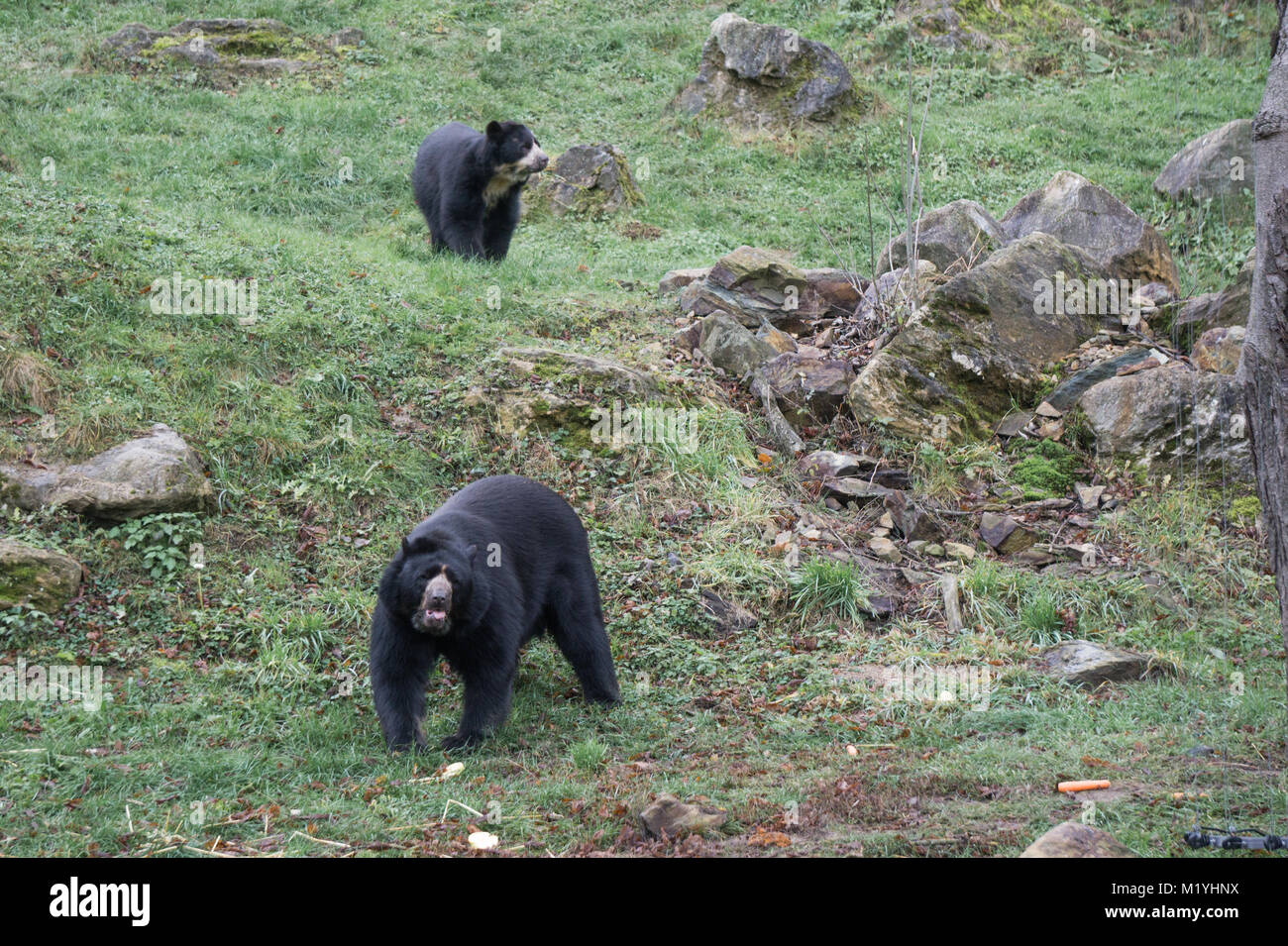 Spectacled bears at an Austrian zoo Stock Photo