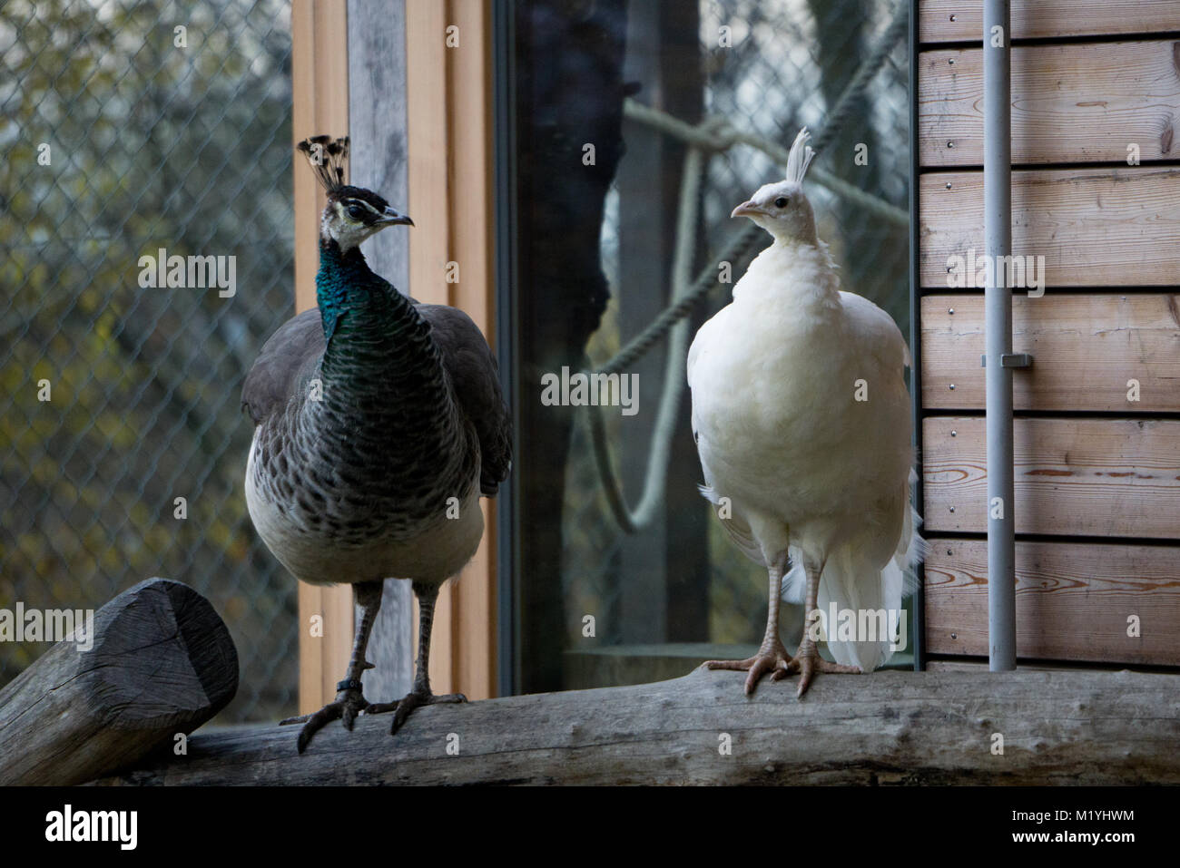 White and regular peafowls side by side - Stock Image