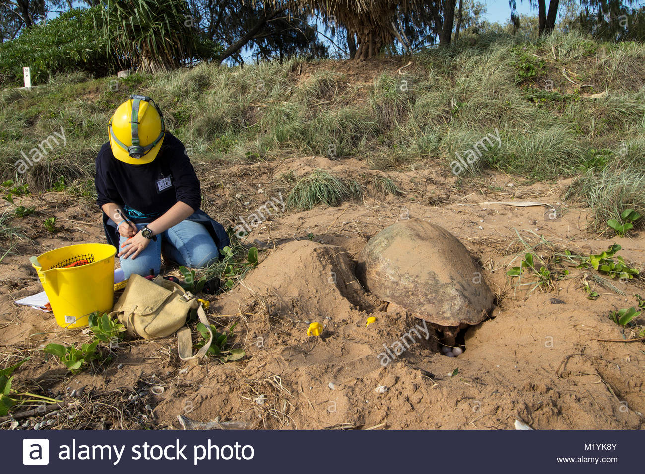 A researcher recording data about the nest of a Loggerhead Turtle at Mon Repos Conservation Park in Australia. - Stock Image