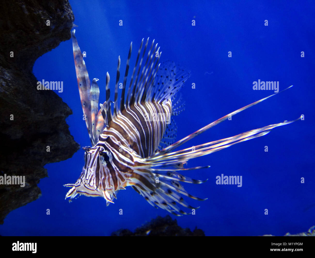 Lion fish underwater - Stock Image
