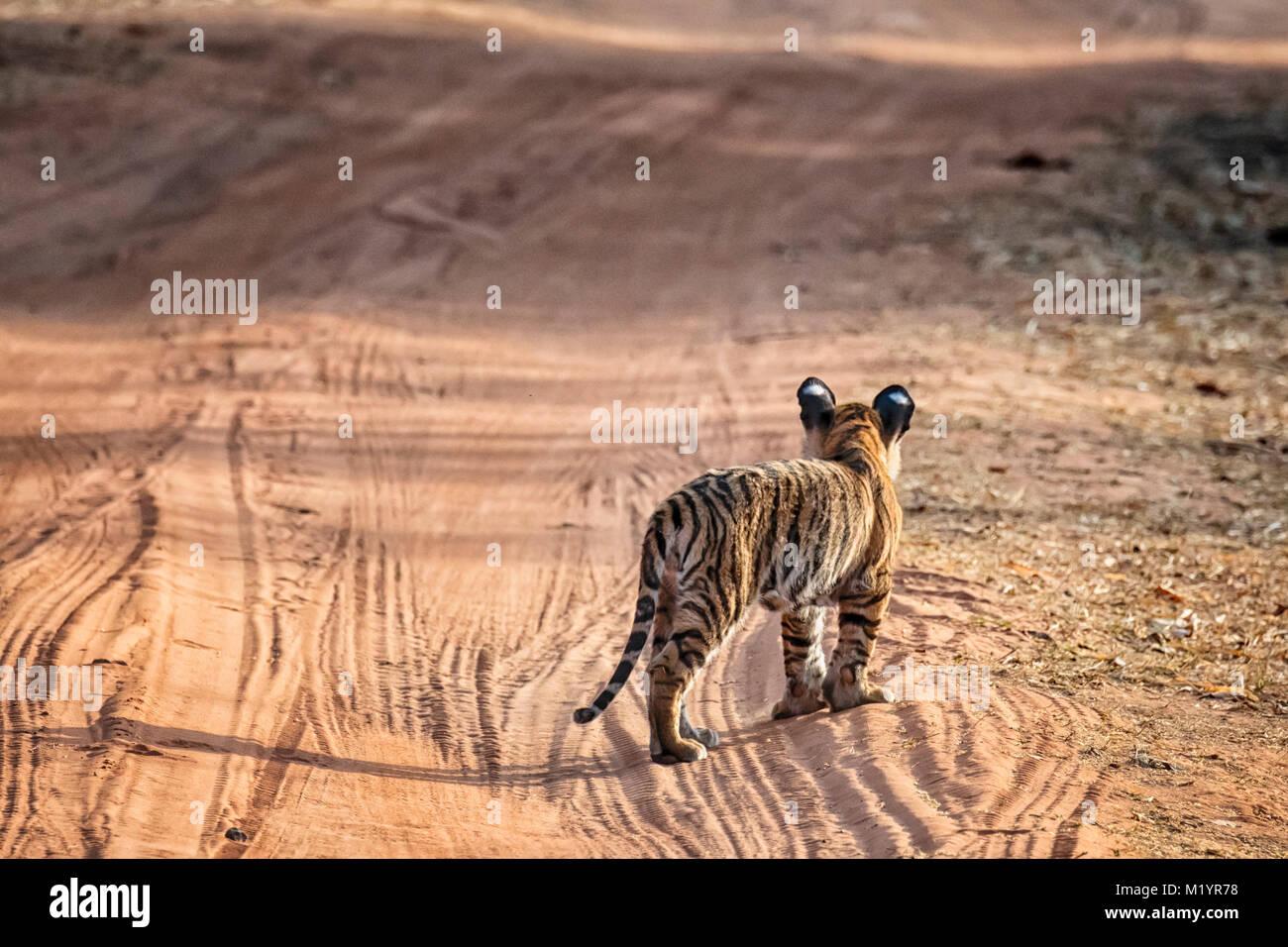 Little wild Bengal Tiger Cub, Panthera tigris tigris, standing in a road looking away, Bandhavgarh Tiger Reserve, - Stock Image