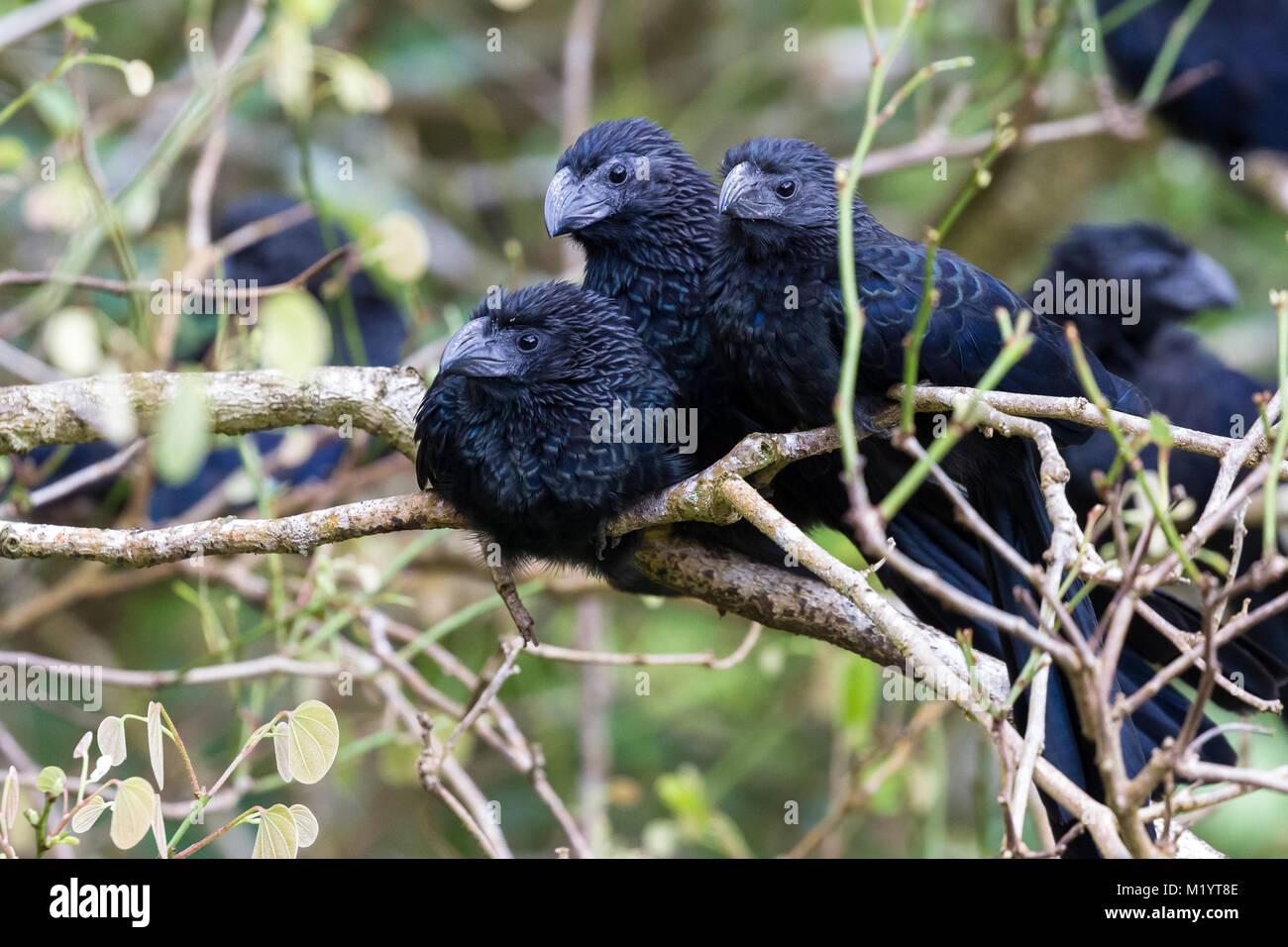 close up of a group of groove billed anis perched on a small branch in the rainforest of Costa Rica - Stock Image