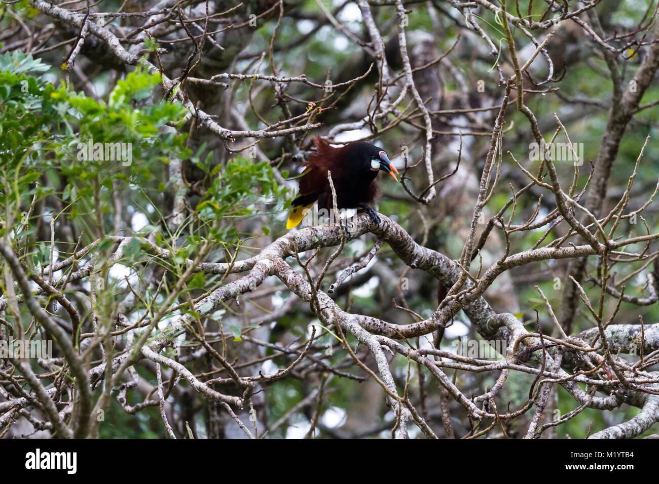 black oropendola perched on a jocote tree in Costa Rica - Stock Image