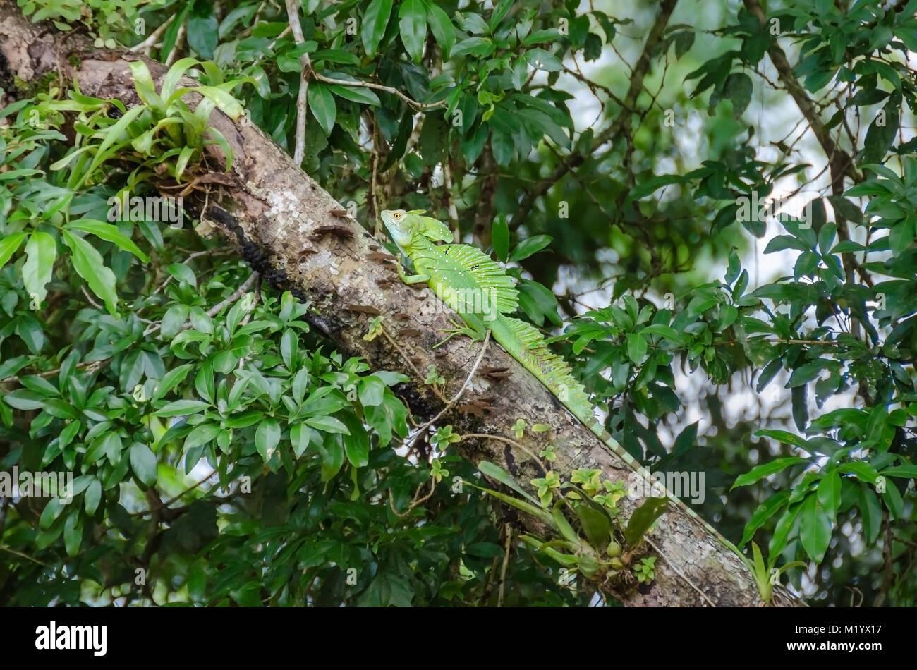 Plumed basilisk (Basiliscus plumifrons), also known as green basilisk, double crested basilisk, or Jesus Christ Stock Photo