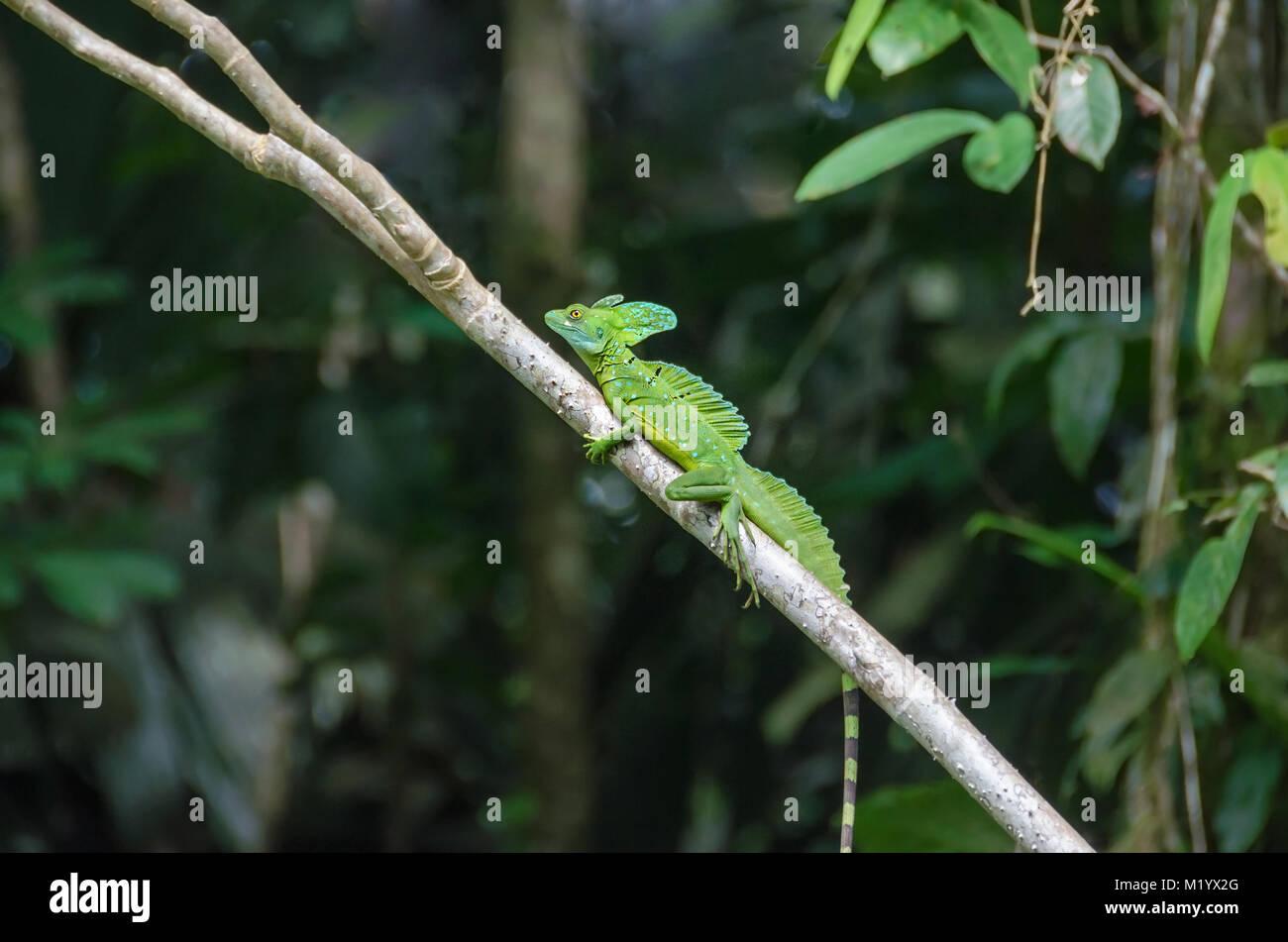 Male Plumed basilisk (Basiliscus plumifrons), also known as green basilisk, double crested basilisk, or Jesus Christ Stock Photo