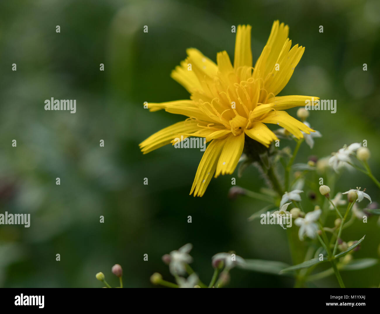 Spotted Hawkweed with small white flowers in background - Stock Image